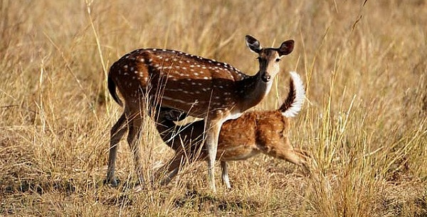 Spotted Deer @Bandhavgarh | Pic By: Koshy Koshy