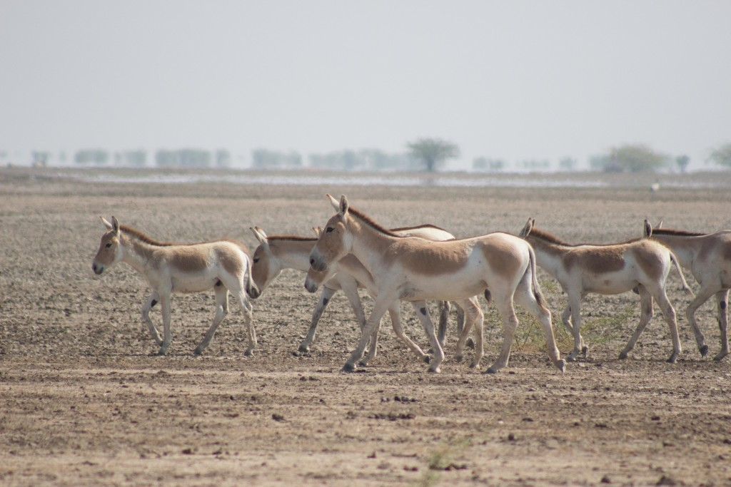wild ass sanctuary kutch