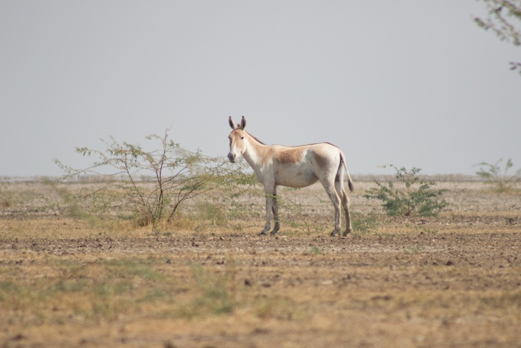 wild ass sanctuary, kutch
