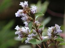 munnar flower