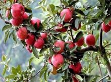 apple-country thanedar