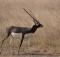 Black Buck National Park, Gujarat